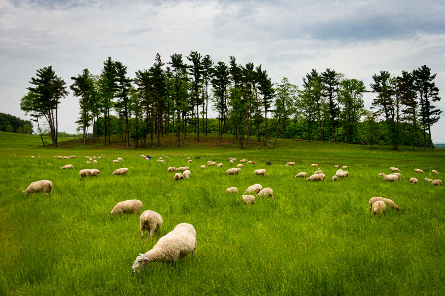 sheep grazing in field with pine trees behind them